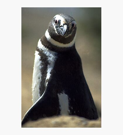 Magellan Penguin Photographic Print