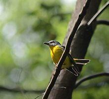 Eastern Yellow Robin by Tim Harper