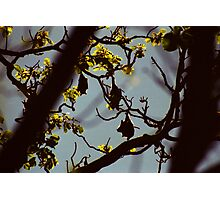 Grey Headed Flying Foxes, Sydney Botanical Gardens Photographic Print