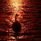 """""""THE MOONLIGHT SWAN"""" by snapitnc"""
