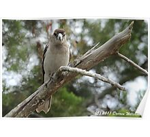 Female Pied Butcherbird Poster