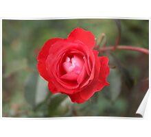 rose. Poster