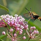 Little Hummingbird Moth by marilynwood