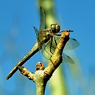 Common Darter by Russell Couch
