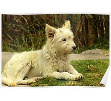 White Shaggy Dog Poster