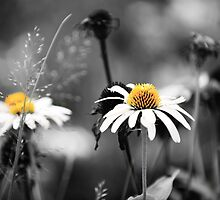 Daisies Field by bjphotographs