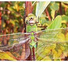 Dragon Fly Macro very nice Photographic Print