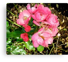 Governor General's rose 11 Canvas Print
