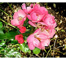 Governor General's rose 11 Photographic Print