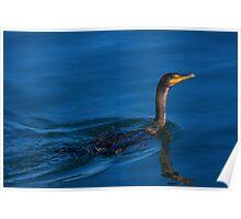 Juvenile Cormorant Swim Poster