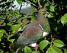 New Zealand Pigeon.......! by Roy  Massicks