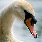 Portrait of an adult Mute Swan by Gary Rayner
