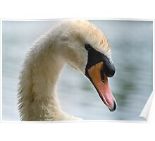 Portrait of an adult Mute Swan Poster