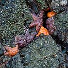 orange and purple starfish on the oregon coast by jeliza
