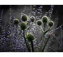 Russian Sage, Rattlesnake Master, Green and Purple Photographic Print