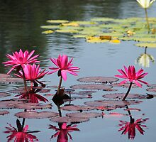 Reflection Of Pond Lilies by NewfieKeith