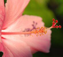 Pink Hibiscus by Leon Heyns