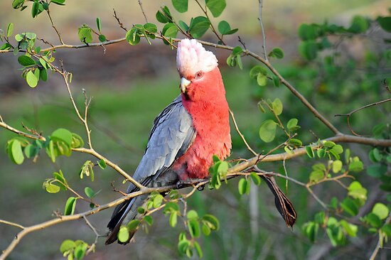 Female Galah. Brisbane, Queensland, Australia. by Ralph de Zilva