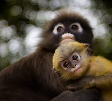 Spectacled Langur Monkeys ~ Thailand  by Daniel Nahabedian