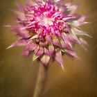 Morning Thistle by Jennifer Bailey