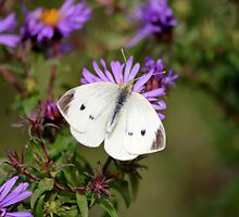 Up close and persaonal with a cabbage butterfly by NewfieKeith