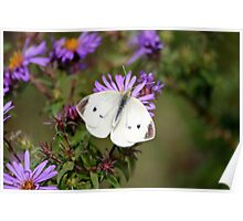 Up close and persaonal with a cabbage butterfly Poster
