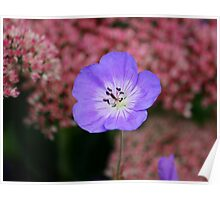 Wild Blue Flax Poster