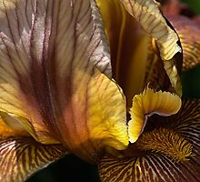 Spring - Iris by Joy Watson
