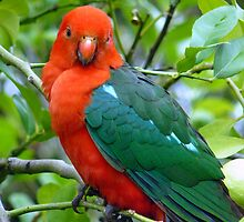 Australian Native King Parrot by Margaret Stockdale