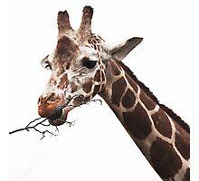 hungry giraffe Photographic Print