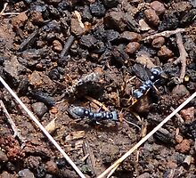 Jack Jumper ants are always a challenge by Ron Co