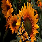 Sunflower Radiance Monarch Butterfly by purplesensation