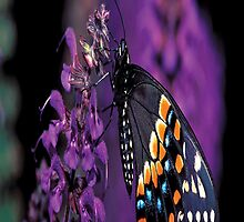 Eastern Black Butterfly by purplesensation