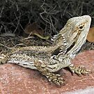 Little Bloke (#2) - Juvenile Bearded Dragon  by Neil Ross