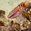 Hypoplectrodes maccullochi (Half-banded Seaperch) by Allan Saben