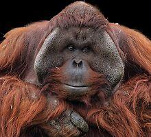 Orangutan v1 by JMChown