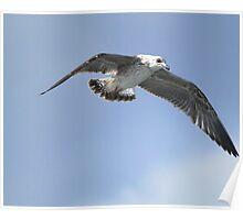 Yellow-legged Gull: Larus michahellis Poster