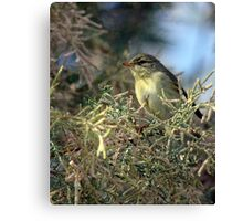 Willow warbler (Phylloscopus trochilus) Canvas Print