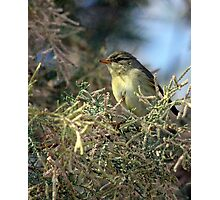 Willow warbler (Phylloscopus trochilus) Photographic Print