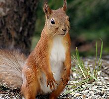 A red squirrel with nothing to do by Susanna Hietanen