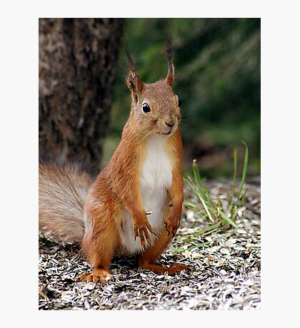 A red squirrel with nothing to do Photographic Print