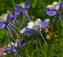Colorado Blue Columbine Wildflowers by CrowningGlory