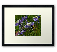 Colorado Blue Columbine Wildflowers Framed Print