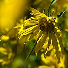 Colorado Sunflowers by CrowningGlory