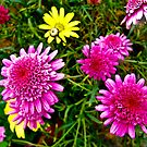 Daisy Array by Lyndy