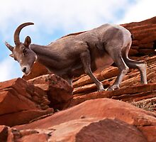 Curious Rock Climber  by James Marvin Phelps