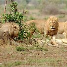 KEEP YOUR DISTANCE ! THE LION - Panthera leo by Magriet Meintjes