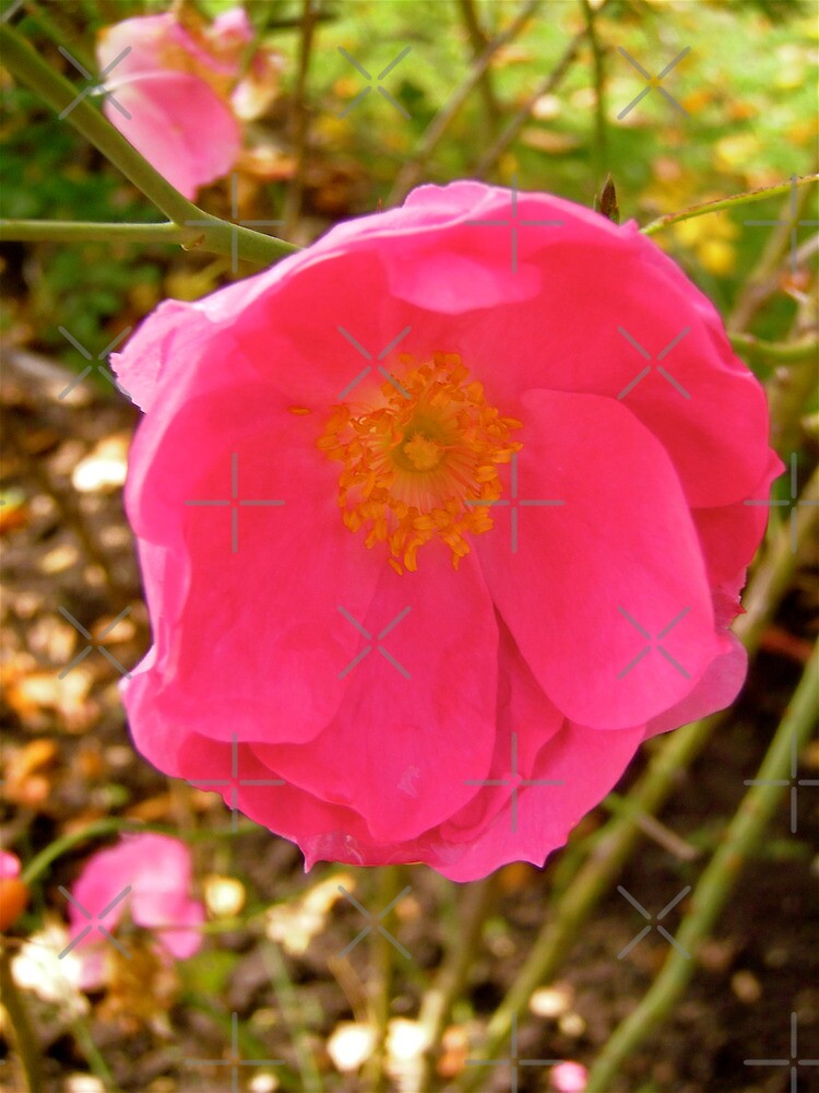 Governor General's rose 14 by Shulie1