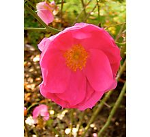 Governor General's rose 14 Photographic Print