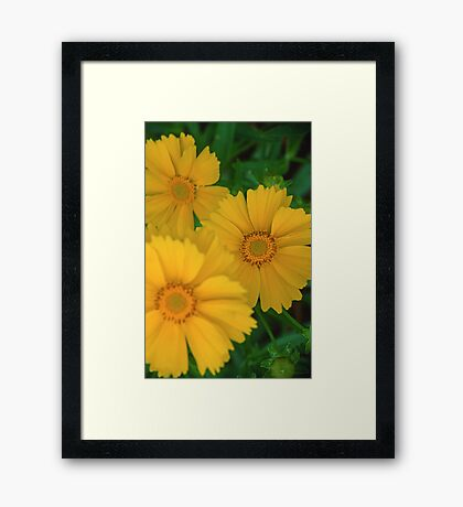 Yellow Coreopsis  Framed Print